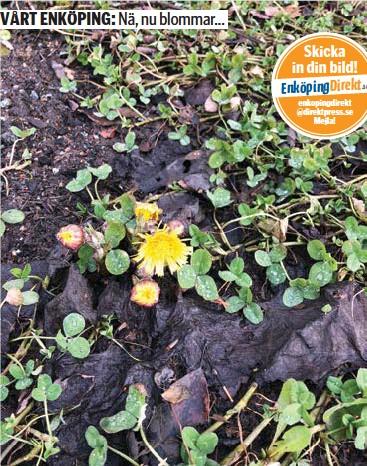 ?? FOTO: MALIN PERSSON ?? TUSSILAGO. Gång på gång vinner våren tvekampen mot vintern om vilken årstid som egentligen är herren på täppan just nu. Den här tussilagon har kämpat sig upp genom jordmassorna på Älvdansen.
