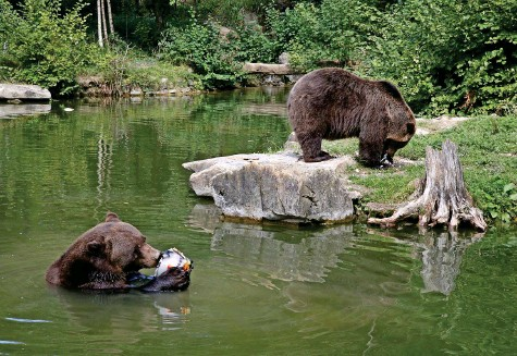 ?? Archivfoto: Sabine Rock ?? Langnau Alle paar Jahre beurteilt der Schweizer Tierschutz (STS) sämtliche Schweizer Zoos und Tierparks. Der Wildnispark Zürich Langenberg geht aus dem aktuellen Zoobericht erneut als Musterschüler hervor. Besonders positiv beurteilt der STS das Bärengehege – diesmal vorbehaltlos. (sis)