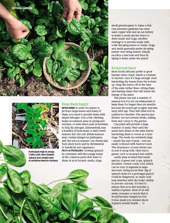 ??  ?? Particularly high in omega 3 fatty acids, New Zealand spinach does double duty as nutritious feed for chickens.