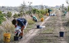 ?? Godofredo A. Vásquez / Staff photographer ?? Houston Wilderness volunteers and staff have planted 1,500 trees as the Bayport Terminal Berm.