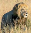 ??  ?? The death of Xanda the lion has sparked similar outrage to the shooting of his famous father Cecil two years ago.