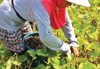 ??  ?? A farmer while harvesting mungbean pods in San Mateo.