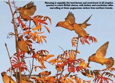 ??  ?? Waxwing is arguably the best-known and most-loved of all irruptive species to reach British shores, with birders and non-birders alike marvelling at these pugnacious visitors from northern forests. Birdwatch•August 2021