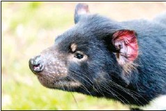 ?? AUSSIE ARK/AFP ?? The birth of wild Tasmanian devils on the Aussie mainland have lifted hopes of a successful major rewilding effort.