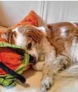 ??  ?? Von der Müdigkeit übermannt, kuschelt sich Mischling Samu auf das Sofa. Fotogra‰ fiert hat ihn Paul Pirisino aus Augsburg.