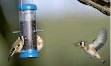 ??  ?? Goldfinches on a feeder.