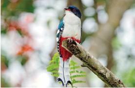 ??  ?? El tocororo, ave nacional de Cuba.