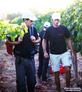 ??  ?? Grapes are manually harvested by hand