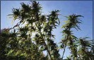 ?? ALEX HORVATH / THE CAL­I­FOR­NIAN ?? A hemp plant is seen grow­ing near Arvin in Septem­ber. The Kern County Sher­iff's De­part­ment de­stroyed the farm a month later.