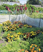 ??  ?? i View of the veg beds in summer, with carrots interplanted with bright marigolds