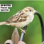 ??  ?? SPIRITED House sparrow