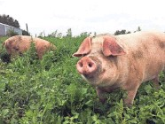 ?? THELMA HEIDEL-BAKER ?? Bossie Cow's pastured pigs enjoy a meal.