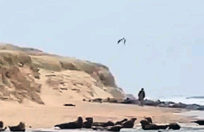 ??  ?? DISTURBANCE: A still from the video of a walker causing panic among the seal colony on the beach at Newburgh
