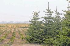 ?? FOTOS: STEFFEN SCHELLHORN/IMAGO IMAGES ?? Ein Großteil der verkauften Christbäume sind Nordmanntannen. Die Nachfrage ist konstant hoch.