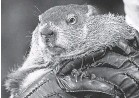 ?? GENE J. PUSKAR/ AP ?? Punxsutawney Phil, the weather prognosticating groundhog, seen in 2015, will face cold and cloudy weather this year.
