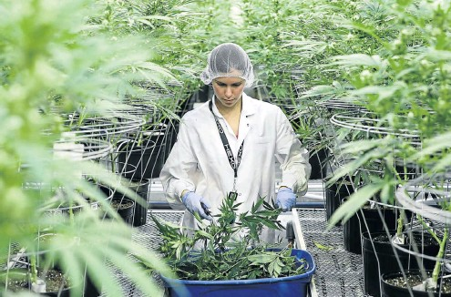 ?? Picture: Reuters/Chris Wattie ?? An employee collects cuttings from cannabis plants at Hexo Corp's facilities in Gatineau, Quebec, in Canada this week.