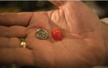 ?? ARIEL SCHALIT/THE ASSOCIATED PRESS ?? The tiny tomato, is smaller than a one shekel Israeli coin and is offered in red and yellow varieties.