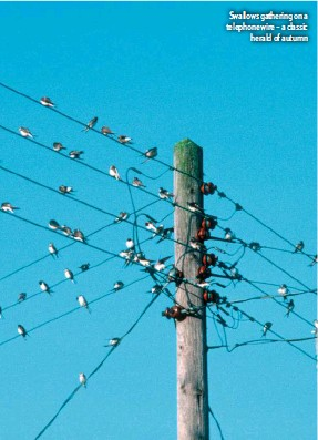 ??  ?? Swallows gathering on a telephone wire – a classic herald of autumn
