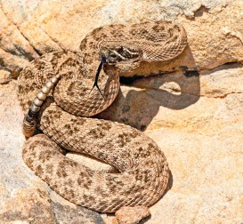 ??  ?? A western prairie rattlesnake lies coiled against the rocks, poised to strike.