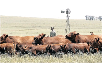 ?? PICTURE: SIPHIWE SIBEKO/REUTERS ?? Koos Mthimkhulu inspects his herd of cattle on his farm at Senekal, in the eastern Free State. The debate over expropriation should take into account that property rights should not be the purview of only a few, says a legal researcher.