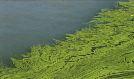 ?? PAUL SANCYA/ASSOCIATED PRESS ?? Algae floats on Maumee Bay near Oregon, Ohio, in 2017. Blooms affect communities along the lake and have been linked to farm runoff in areas that once were wetlands. The Biden administration wants to strengthen how the government regulates streams and swamps.