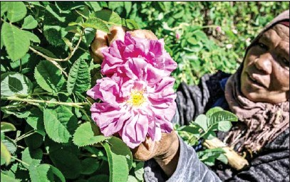 ?? AFP ?? The heady aroma of the Rosa Damascena – a variety introduced in the days of the caravan trade – perfumes hedges and fields irrigated by two wadis between the Atlas Mountains and the Sahara Desert.