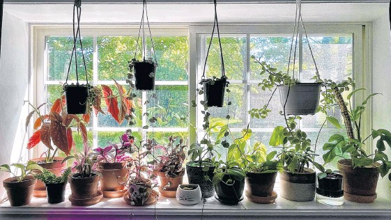 ?? CONTRIBUTED ?? The windowsill above where Megan Barnes taught music from home during the pandemic is now filled with plants. The St. John's woman says she now has about 100 house plants.