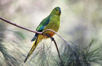 ?? Photograph: Nature Picture Library/Alamy ?? A male orange-bellied parrot. Nearly 200 of the endangered species have begun an annual migration from Tasmania to the Australian mainland.