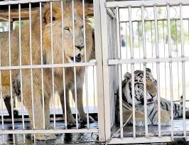 ?? FOTO: HEMEROTECA PL ?? El Circo Hermanos Ponce posee dos leones y 11 tigres, cuyo destino es incierto debido a la entrada en vigor de la Ley de Bienestar Animal.