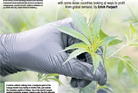 ??  ?? A worker collects cuttings from a marijuana plant at the Canopy Growth Corp facility in Smiths Falls, just outside the Canadian capital of Ottawa. One of the world's largest medical marijuana growers, Canopy is also the first company of its kind to be...