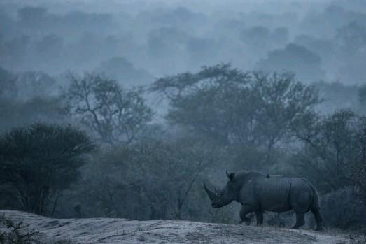 ??  ?? Jurassic Rhino Man kann nur hoffen, dass sie nicht bald ebenso ausgestorben sind, Kruger NP 2015 Canon EOS 1Dx, Brennweite 490 mm, ISO 1000, Blende 5,6, 1/500 s, -0,3 EV